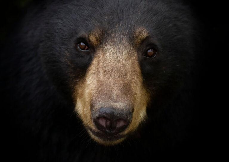 American,Black,Bear,Face,Up,Close,Looking,At,The,Camera