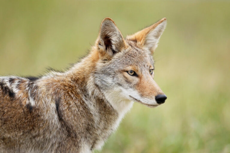 Coyote Close up