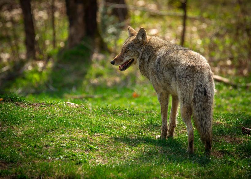 North American Coyote