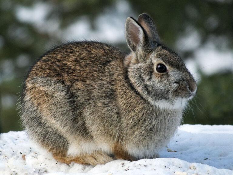Snowshoe,Hare,Rabbit,-,Lepus,Americanus,-,Or,Varying,Hare