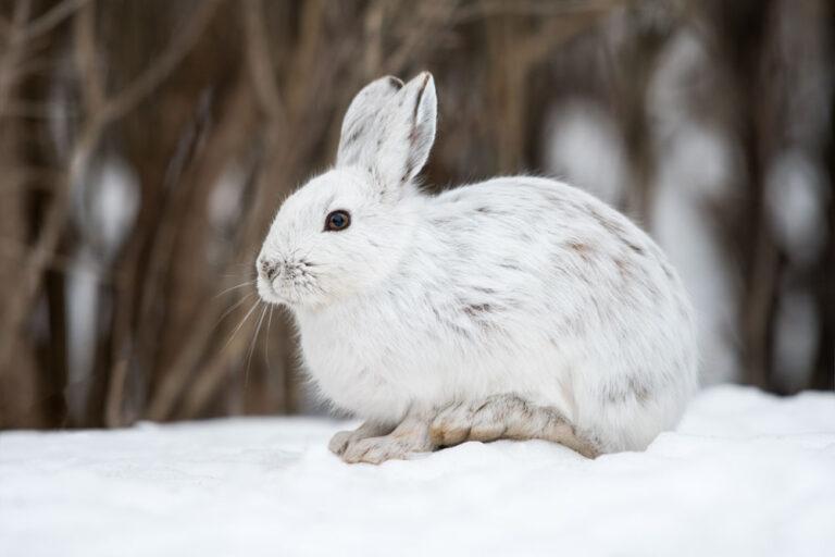 White,Snowshoe,Hare,In,Winter